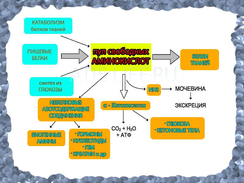 пул свободных аминокислот